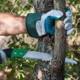Подрезая дерево Стоковое фото RF