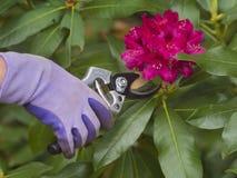 Подрезая цветки Стоковая Фотография RF