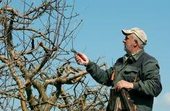 Подрезая яблоня Стоковые Фотографии RF
