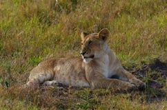 Подросткового возраста львица Стоковые Фотографии RF