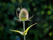 Подсвеченная ворсянка - Dipsacus Стоковое фото RF