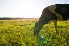 Подсвеченная корова пася в поле на заходе солнца Стоковые Изображения