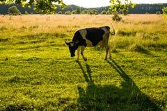 Подсвеченная корова пася в поле на заходе солнца Стоковые Фото