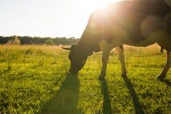Подсвеченная корова пася в поле на заходе солнца Стоковое Изображение RF