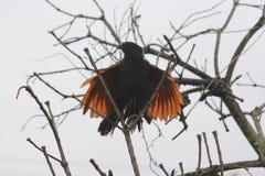 Подсвеченная съемка общей птицы Myna на дереве Стоковые Фотографии RF