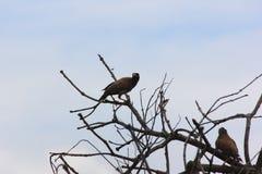 Подсвеченная съемка общей птицы Myna на дереве Стоковые Изображения