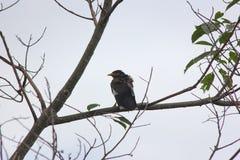 Подсвеченная съемка общей птицы Myna на дереве Стоковые Изображения RF