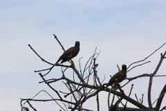 Подсвеченная съемка общей птицы Myna на дереве Стоковая Фотография RF
