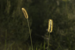 Подсвеченная трава в defocused предпосылке Стоковые Изображения