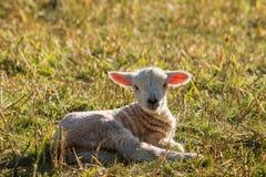 Подсвеченная newborn овечка отдыхая на луге Стоковая Фотография