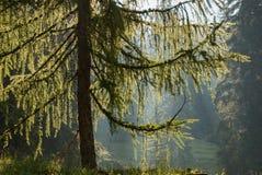 Подсвеченное дерево лиственницы в лесе Стоковое Изображение RF