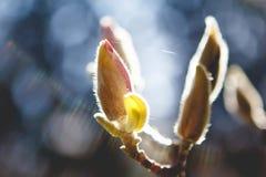 Подсвеченное цветение магнолии Стоковые Изображения