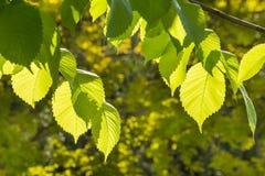 Подсвеченные листья дерева фундука в весеннем времени Стоковое фото RF
