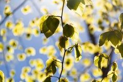 Подсвеченные листья 1 Стоковые Изображения RF