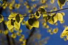 Подсвеченные листья 2 Стоковые Изображения RF
