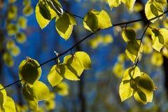 Подсвеченные листья 3 Стоковое Изображение RF