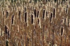 Подсвеченные осеменяя Bulrushes silhouetted низким солнцем Стоковые Фотографии RF