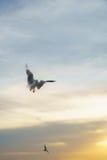 Подсвеченные птицы летая распространенные крыла на заход солнца Стоковая Фотография RF