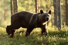 Подсвеченный бурый медведь Бурый медведь идя в подсвеченное на лете Стоковая Фотография RF