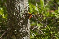 Подсвеченный красный адмирал бабочка на дереве Стоковая Фотография RF