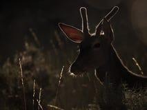 Подсвеченный профиль elaphus Cervus красных оленей & x28; художническое picture& x29; стоковое фото