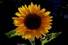 Подсвеченный солнцецвет 3 в саде начальной школы Стоковая Фотография