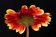 Подсвеченный цветок Стоковая Фотография