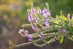 Подсвеченный Hoary Wildflower Vervain стоковые фотографии rf