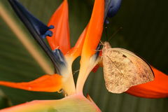 подсказка бабочки большая померанцовая Стоковая Фотография RF