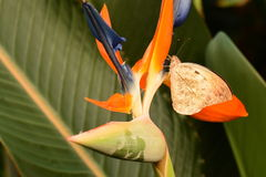 подсказка бабочки большая померанцовая Стоковое Изображение