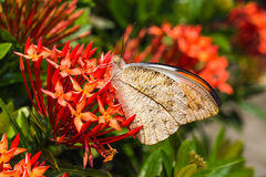 подсказка бабочки большая померанцовая Стоковые Изображения RF
