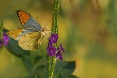 подсказка бабочки большая померанцовая Стоковое Изображение RF