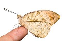 подсказка бабочки большая померанцовая Стоковые Изображения