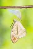 подсказка бабочки большая померанцовая Стоковое Фото