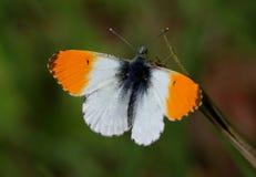 подсказка бабочки мыжская померанцовая Стоковая Фотография