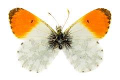 подсказка бабочки померанцовая Стоковые Фото