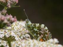 подсказка бабочки померанцовая Стоковая Фотография RF