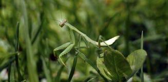 Подсматривать mantis над зеленой травой Стоковые Изображения RF