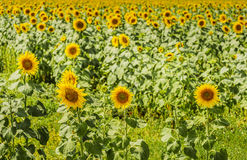 Подсолнечник (солнцецвет) Стоковое Фото