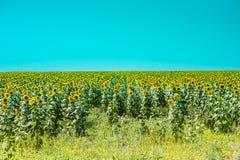 Подсолнечник (солнцецвет) Стоковое Изображение