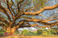 Под старым большим гигантским деревом Стоковое Изображение
