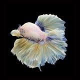 Полумесяц Betta на черной предпосылке красивейшие рыбы Плавая флаттер кабеля флаттера стоковая фотография