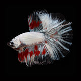 Полумесяц Betta на черной предпосылке красивейшие рыбы Плавая флаттер кабеля флаттера стоковое фото rf