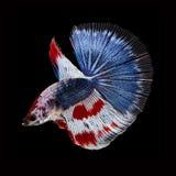 Полумесяц Betta на черной предпосылке красивейшие рыбы Плавая флаттер кабеля флаттера стоковая фотография rf