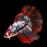 Полумесяц Betta на черной предпосылке красивейшие рыбы Плавая флаттер кабеля флаттера стоковые изображения
