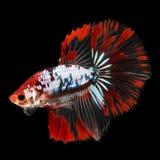 Полумесяц Betta на черной предпосылке красивейшие рыбы Плавая флаттер кабеля флаттера стоковые фотографии rf