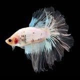 Полумесяц Betta на черной предпосылке красивейшие рыбы Плавая флаттер кабеля флаттера стоковое изображение