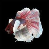 Полумесяц Betta Dumbo стоковое изображение rf
