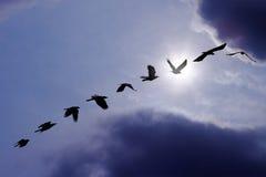 Полуночная миграция Стоковое Изображение RF