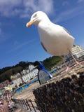 Полученный близкий Чайка на пляже Стоковые Изображения